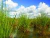 Aquatic Plants of Florida