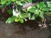 redmangrove