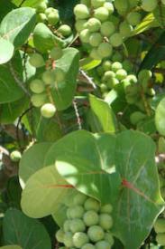 Sea Grape-Coccoloba uvifera