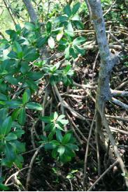 Red Mangroves -Rhizophora mangle