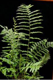 Swamp Fern-Blechnum serrulatum
