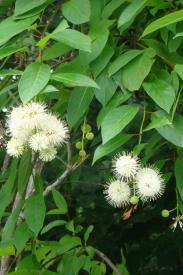 Button Bush-Cephalanthus occidentalis