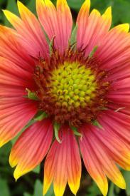 Blanket Flower-Gaillardia pulchella