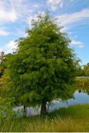 Bald Cypress-Taxodium distichum