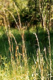 Broomsedge-Andropogon virginicus