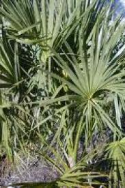 Cabbage Palm-Sabal palmetto