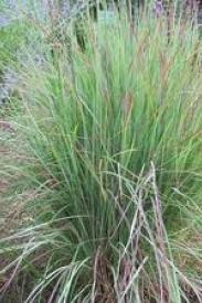 Little Bluestem-Schizachyrium scoparium