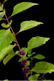 Beauty Berry-Callicarpa americana