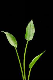Arrow Arum-Peltandra virginica