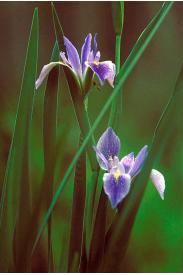 Blue Flag Iris-Iris virginica