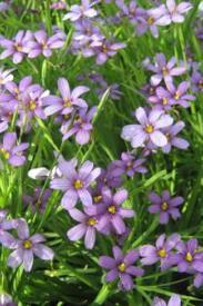Blue Eyed Grass-Sisyrinchium angustifolium