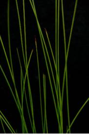 Black Needle Rush -Juncus roemerianus