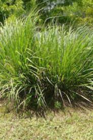 Dwarf Fakahatchee Grass-Tripsacum floridanum