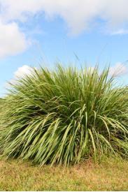 Fakahatchee Grass -Tripsacum dactyloides