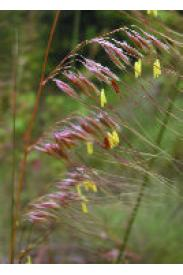 Lopsided Indian Grass-Sorghastrum secundum
