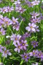 Blue Eyed Grass-	Sisyrinchium angustifolium