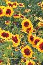 Golden Tickseed-Coreopsis tinctoria
