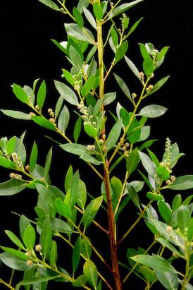 Buttonwood (Green)-Conocarpus erectus