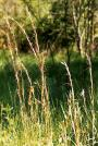 Broomsedge-Andropogon virginicus