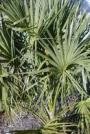 Cabbage Palm-Sabal palmetto
