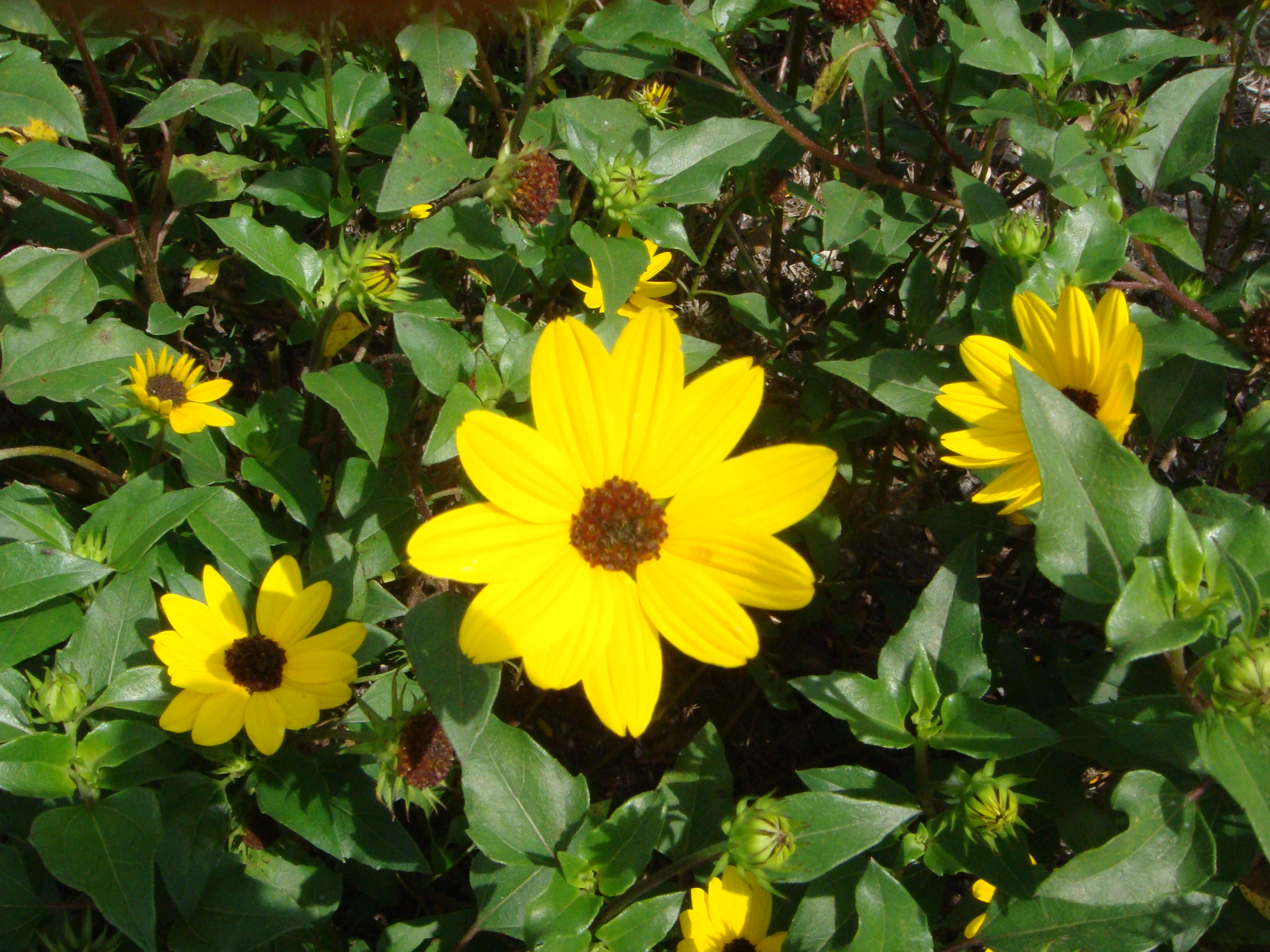 Dune Sunflower-Helianthus debilis