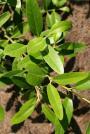 Black Mangrove -Avicennia germinans